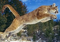 Jumping cougar small